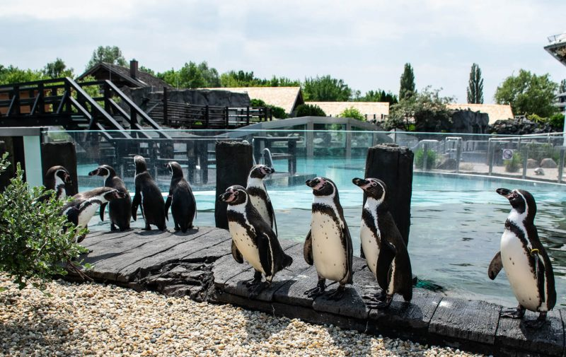 Horde Pinguine