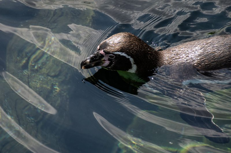 Pinguin schwimmend